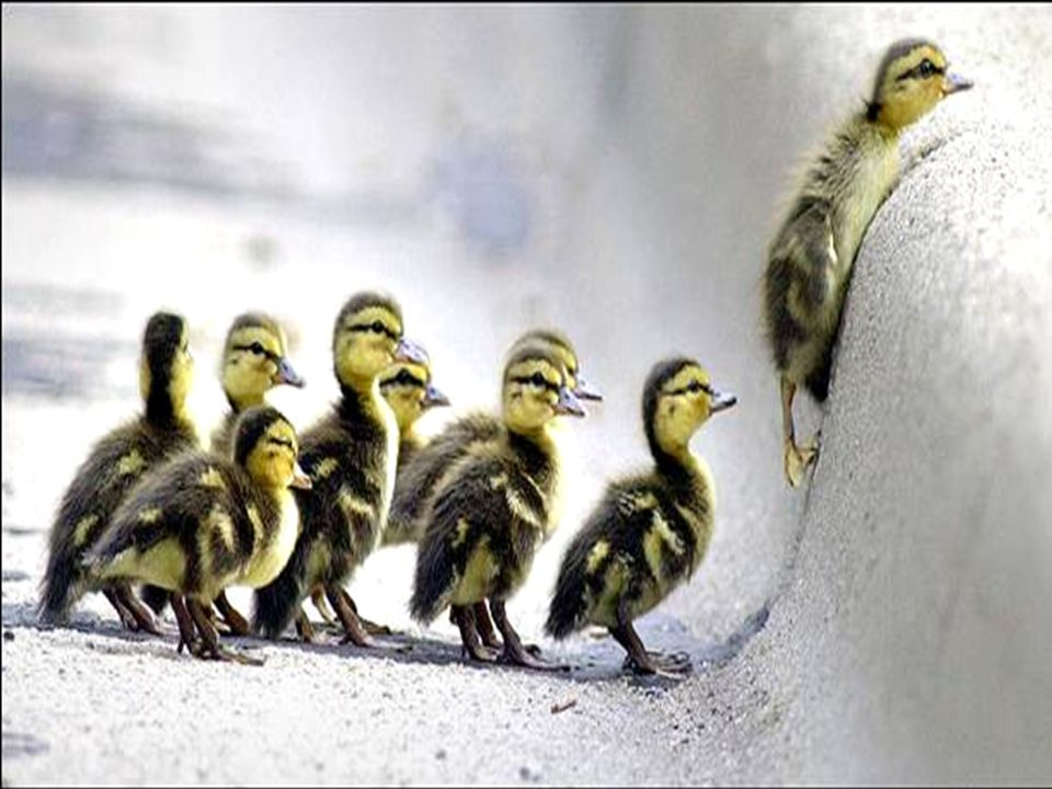 [Picture of ducklings peering over an obstruction.]